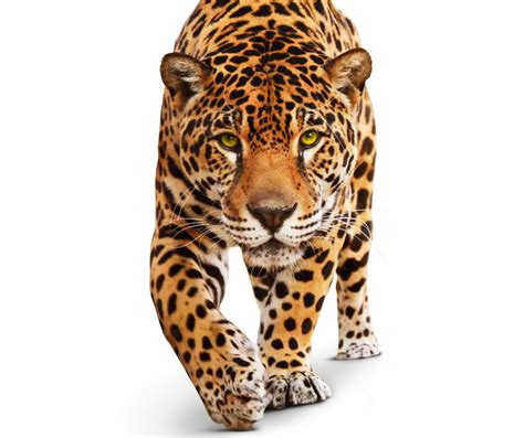 imagenes de jaguar blanco wallpaper jaguar wild cat green eyes animal white