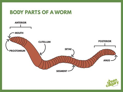 earthworm parts images green calgary chels dyer