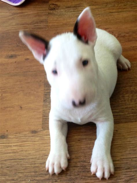 bull terrier puppy for sale kc reg bull terrier puppys for sale middlesex pets4homes