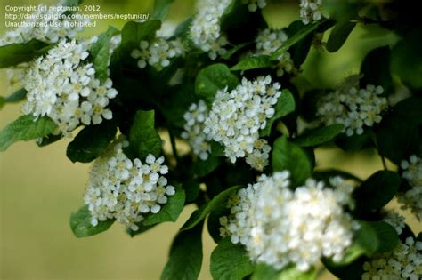 shrub with white flowers identification plant identification white flowers 1 by neptunian