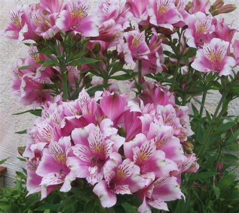 alstroemeria colors alstroemeria colors alstroemeria growing grow plants