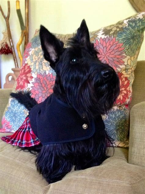 how to give a scottish terrier a hair cut 25 best ideas about scottish terriers on pinterest