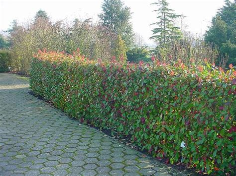 Photinia Hecke Robin by Photinia Robin Hecke 18 2542 Kottingbrunn