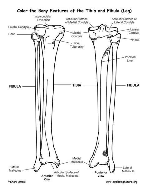 anatomy coloring book skeletal system tibia and fibula calf bony features coloring page