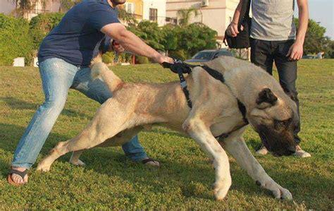 aggressive dogs list aggressive breeds list model breeds puppies aggressive breeds list
