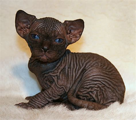 sphynx cattery baby rah about cattery