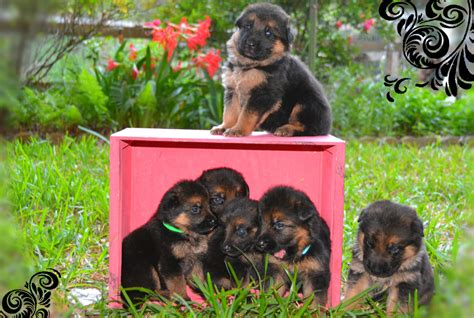 german shepherd puppies for sale in va heritage ranch german shepherd breeder quality puppies for sale