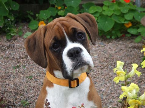 puppy boxers boxer puppies rescue pictures information temperament characteristics animals