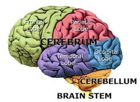 What Are The Four Sections Of The Brain by Neuroscience What Are The Most Important Parts Of The