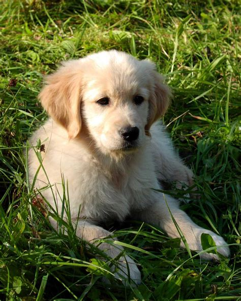 golden retriever heaven cuccioli golden retriever in regalo regalo cuccioli di