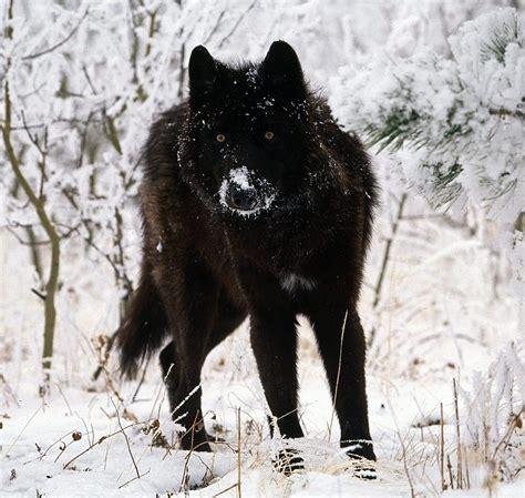 imagenes lobo negro foto de un lobo negro im 225 genes y fotos