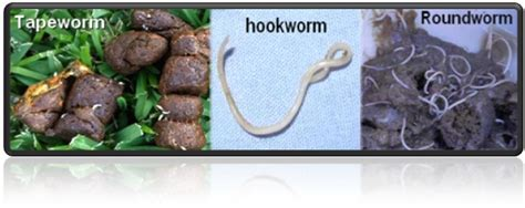 hookworms in puppies virbantel chewable tablets to treat parasites in dogs allvetmed