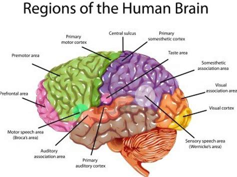 brain sections diagram structure of the brain diagram brain and the cranial