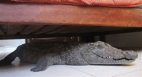 the crocodile under the man discovers he slept through the night with 8 foot crocodile under bed sick chirpse