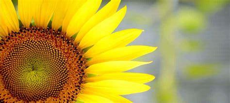 fiori di girasole girasole coltivazione in orto o in vaso orto da coltivare