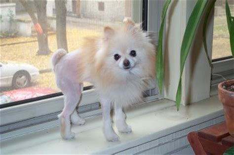 haircut for long hair chihuahua pomeranian haircuts pictures