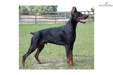 doberman puppies for sale in chicago doberman pinscher for sale chicago breeds picture