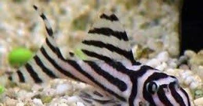 Makanan Ikan Hias Sapu Sapu pleco ikan sapu sapu hias budidaya pleco