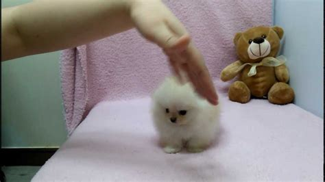 micro teacup pomeranian puppies micro teacup pomeranian puppies for sale