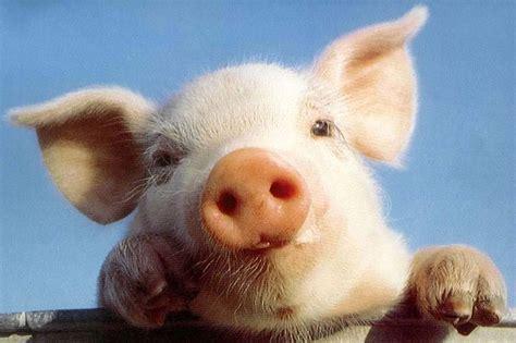 alimentazione maiale alimentazione la carne di maiale tra verit 224 e leggende