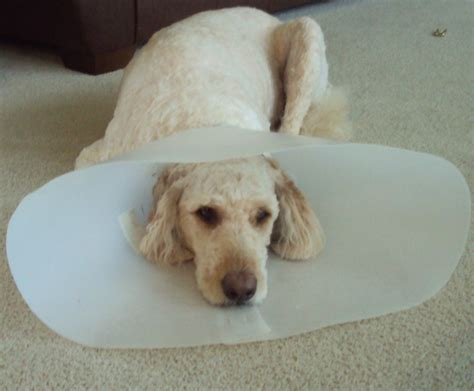cone of shame the cone of shame laced with grace christian devotions