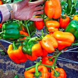 taraxacum lada 171 lada 187 organic pepper seeds shipping is free for