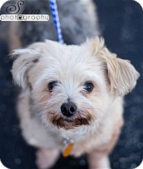 havanese rescue missouri springfield mo havanese maltese mix meet pepper a for adoption