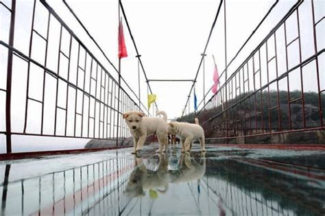 bridge puppies poor puppies stranded on a glass bridge get saved by hearted security guards