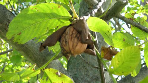 the nut house 28 the walnut harvest or nuts on the ground nuts in the