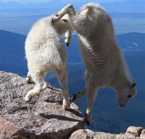 mountain goats   heard  word fear