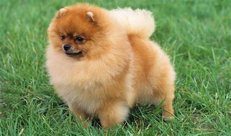 different kinds of pomeranians types of pomeranian mixes 10 hd wallpaper dogbreedswallpapers