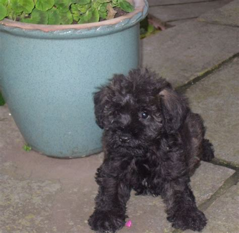 schnoodle puppies for sale only 2 remaining malpas cheshire gorgeous miniature schnoodle puppies ready now malpas