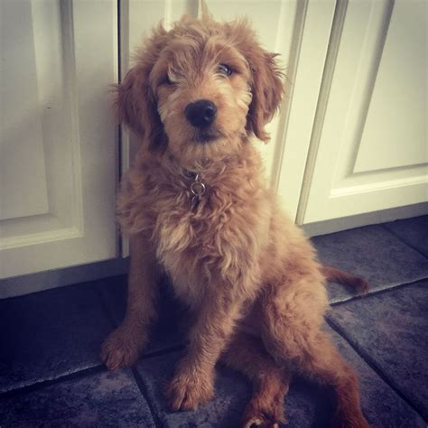 goldendoodle puppy names 10 best goldendoodle names