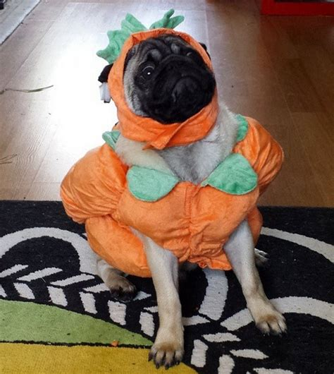 pug costume for humans the 15 most important pugs of 2015