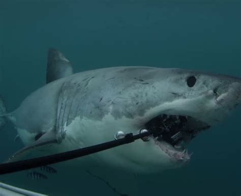 gopro shark great white shark devours gopro cameras outdoorhub