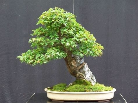 bonsai da interno elenco stili bonsai bonsai vari stili di bonsai