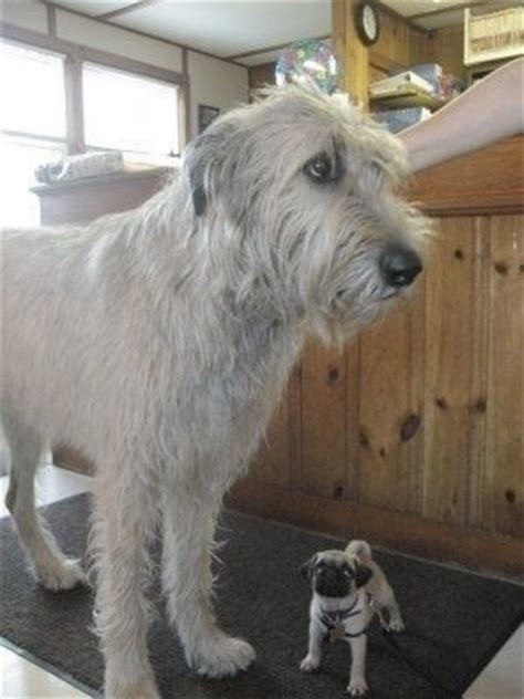 pug rescue ireland 17 best ideas about wolfhounds on wolfhound puppies