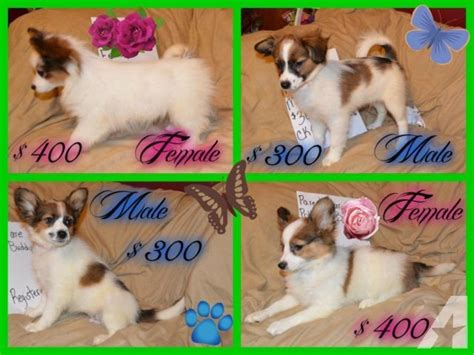 papillon puppies for sale in florida papillon puppies only for sale in cantonment florida classified americanlisted