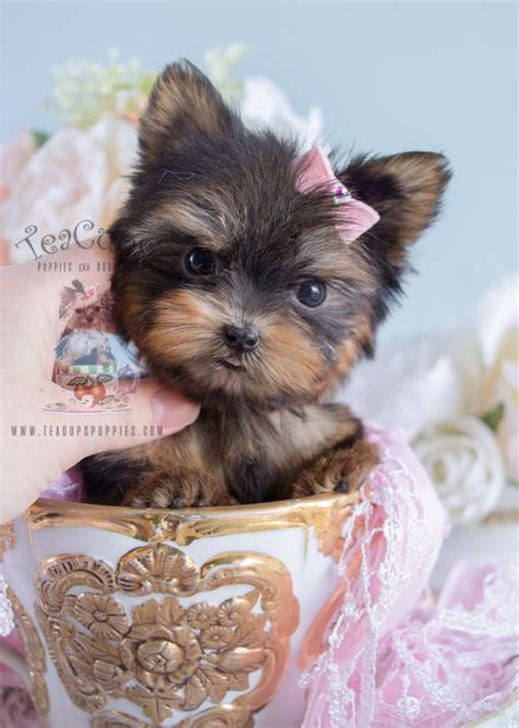 yorkies for sale in san jose ca teacup yorkie puppies for sale in san jose california breeds picture