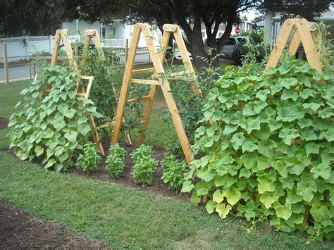 Cucumber Garden Trellis Summer Garden Update The Year Harvest