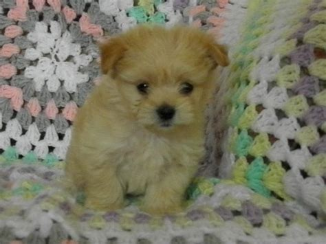 maltese shih tzu puppies melbourne 17 best ideas about maltese shih tzu on names for puppies names