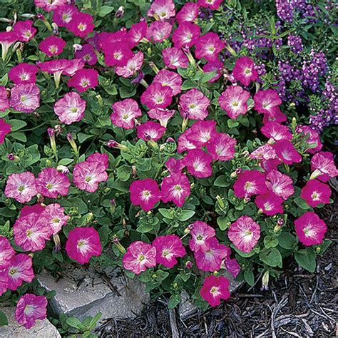 rosy dawn easy wave hybrid petunia seeds from park seed