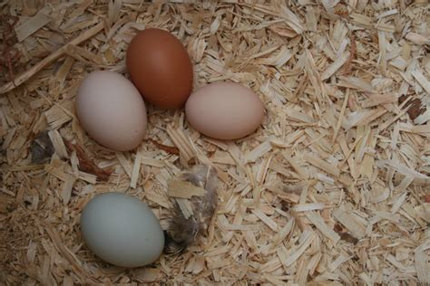 how to get chickens to lay eggs all year long countryside network