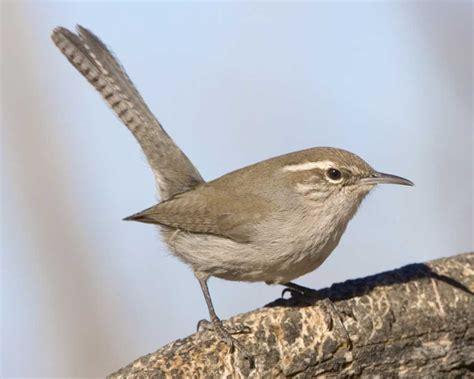 bewick s wren audubon field guide