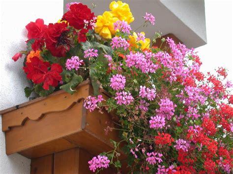vaso di gerani come coltivare i gerani in inverno