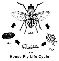 house fly life span the house fly and other filth flies prevention and control