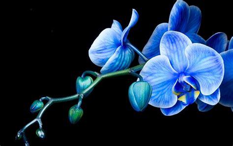 orchid flowers wallpaper  fanpop