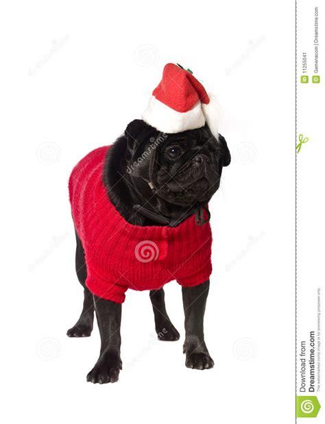 black pug clothing black pug with a dress stock image image 11255041