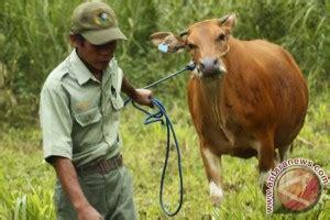 Bibit Sapi Di Ntt jumlah babi kalahkan sapi di ntt antara news