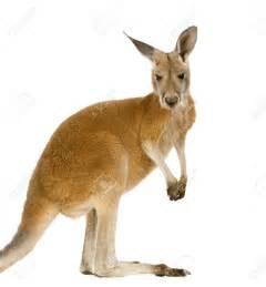 Kangaroo pictures kids search